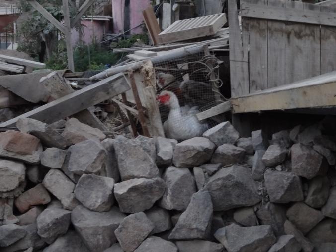 chickens in Yanacoto Peru