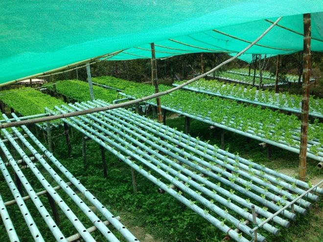 organic lettuce farm in Cajamarca, Peru