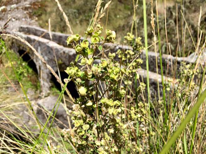 Native Peruvian plant