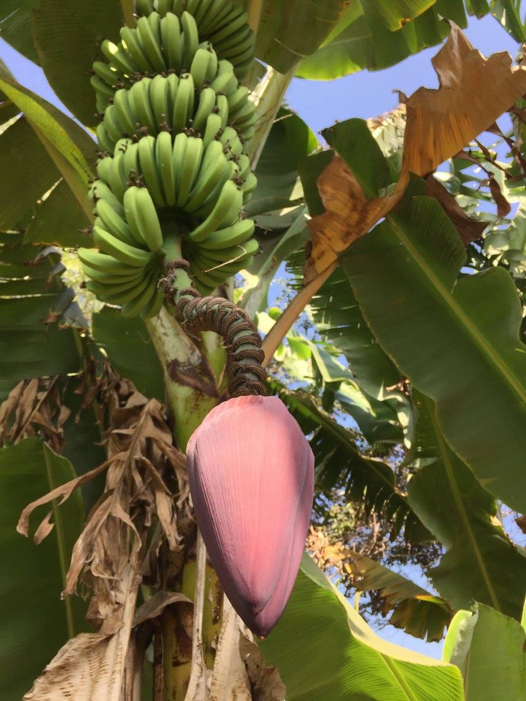 banana tree in Peru campo